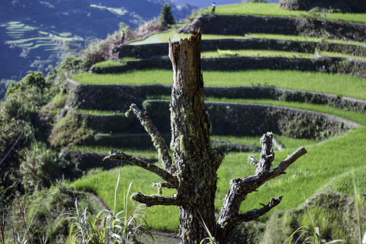 farm tree Rice Paddy Water Mountain Terraced Field Agriculture Rice - Cereal Plant Field Rural Scene Irrigation Equipment Crop
