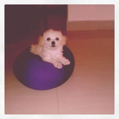 Dog Beautiful Poodlemicrotoy Poodle dogs goodmorning photo efect l4l like family baby tita