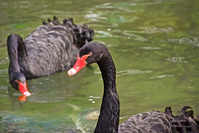 Black Swans Swimming In Lake