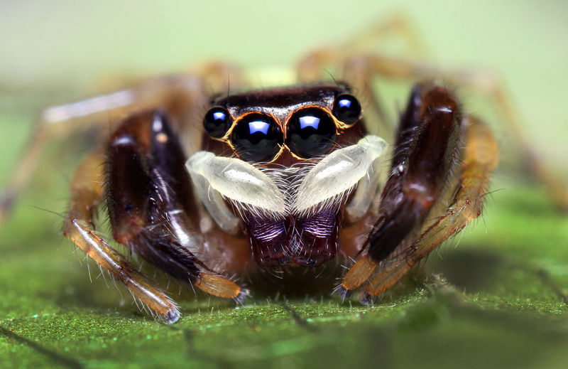 Macro Shot Of Jumping Spider On Plant