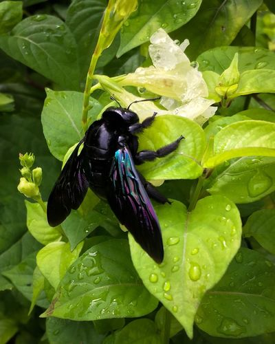 A large, solitary violet carpenter bee (Xylocopa violocea) feeds on a white flower .. Carpenter Bee Violet Carpenter Bee Xylocopa Violacea Solitary Bee Nectar Feeding White Flower Violet-blue Wings Black Bee Giant Bee Insect Paparazzi Insect Close-up Animal Themes One Animal Animal Wildlife Leaf Green Color Water Droplets Freshness Outdoors No People Day Nature August 2017 —
