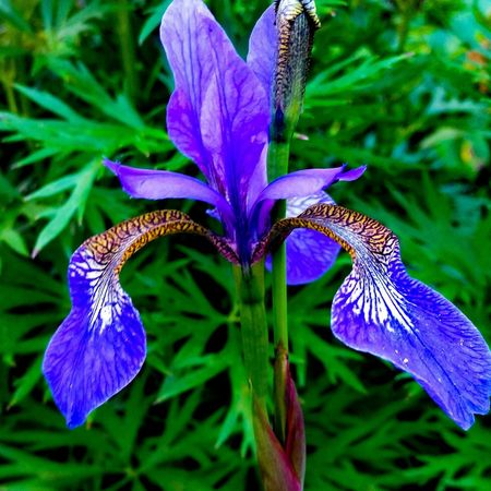 Iris Insect