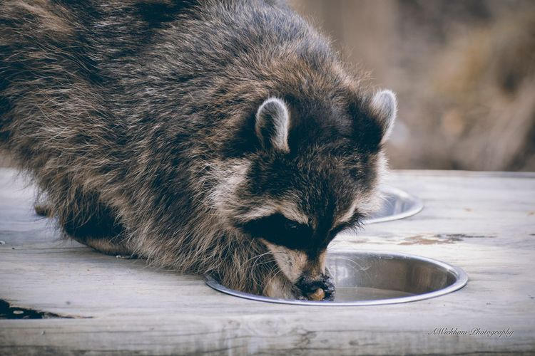 Feeding time Raccoon One Animal Animal Themes Mammal Animal Wildlife No People Close-up Food Outdoors Nature