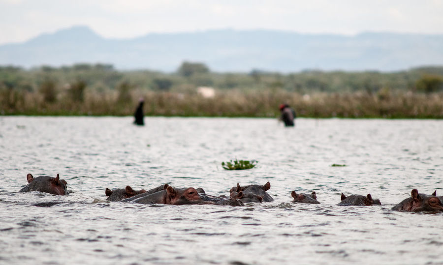 most dangerous animals Hippopotamus Kenya Lake Baringo The Week on EyeEm Africa Day To Day Beauty In Nature Civilisation Vs Wildlife Civilization Danger Fishing Hippopotamus Hippopotamus In Water Human And Mammals Most Dangerrous Animals Nature Swimming Wildlife
