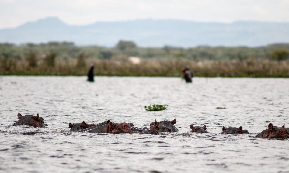 most dangerous animals Hippopotamus Kenya Lake Baringo The Week on EyeEm Africa Day To Day Beauty In Nature Civilisation Vs Wildlife Civilization Danger Fishing Hippopotamus Hippopotamus In Water Human And Mammals Most Dangerrous Animals Nature Swimming Wildlife