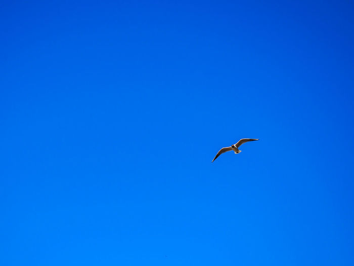 Lonely bird in the blue sky EyeEmNewHere Lonely Bird In The Blue Sky Animal Themes Animal Wildlife Animals In The Wild Beauty In Nature Bird Blue Blue Sky Clear Sky Day Flying Lonely Bird Low Angle View Mid-air Nature No People One Animal Outdoors Sky Spread Wings