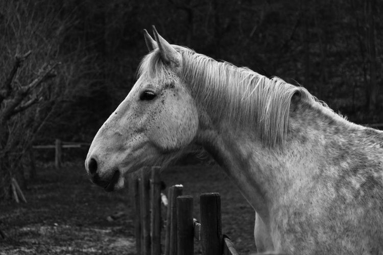 White Horse Animal Animal Head  Animal Themes Animal Wildlife Black And White Horse Black And White Photography Black And White Portrait Boundary Domestic Domestic Animals Fence Field Herbivorous Horse Horse Portrait Livestock Mammal No People One Animal Pets Profile View Ranch Side View Vertebrate