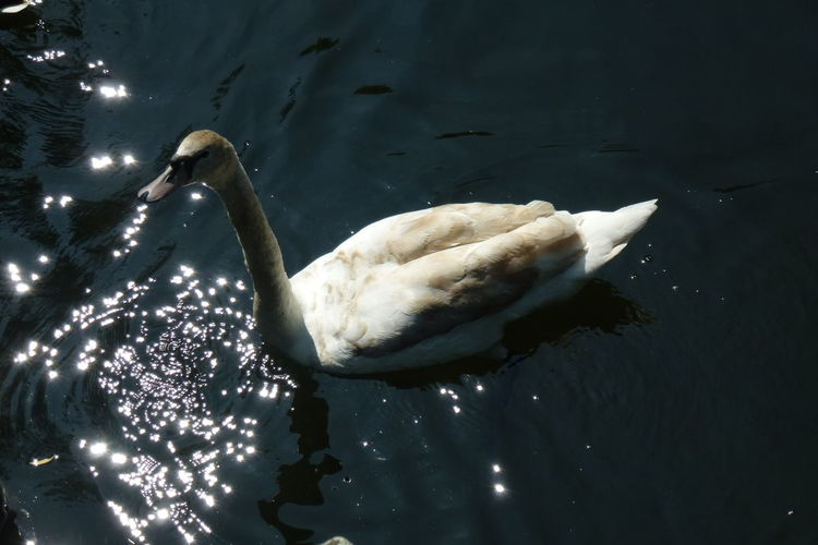 Animal Themes Animals In The Wild Bird Nature No People Swan Swimming Water Water Bird Waterreflections  Glitter & Sparkle