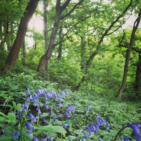 Bluebell woods. EyeEm Nature Lover Spring Flowers Beautiful Nature EyeEm Best Shots - Flowers