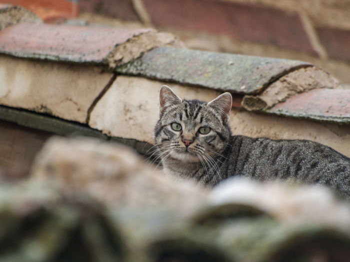 Animals In The Wild Architecture Animal Themes Cat Cat Lovers Cats Close-up Day Domestic Animals Domestic Cat Environment Feline Looking At Camera Mammal No People One Animal Outdoors Pet Pets Portrait Rofftop Roof Tops Rural Scene Selective Focus Whisker