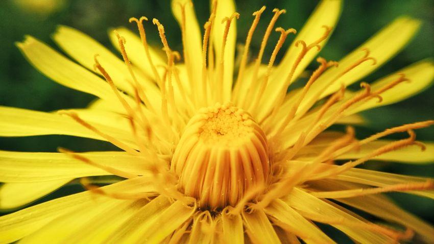 Flower Head Flower Concentric Springtime Petal Yellow Pollen Stamen Black-eyed Susan Full Frame