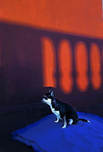 Dog on orange wall