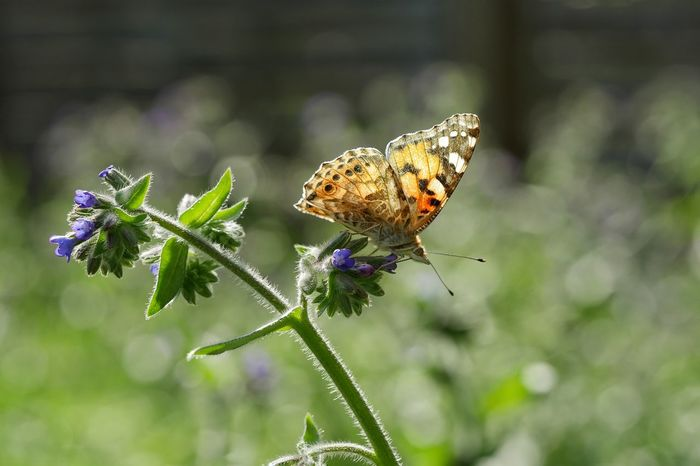 Painted Lady Butterfly Insects  Nature Garden Insects Collection Save The Nature Nature_collection Plants Flower Collection Perspectives Outdoors From My Point Of View Flowers Taking Photos Outdoor Butterflies Plants And Flowers Perspective Photography Blurred Background