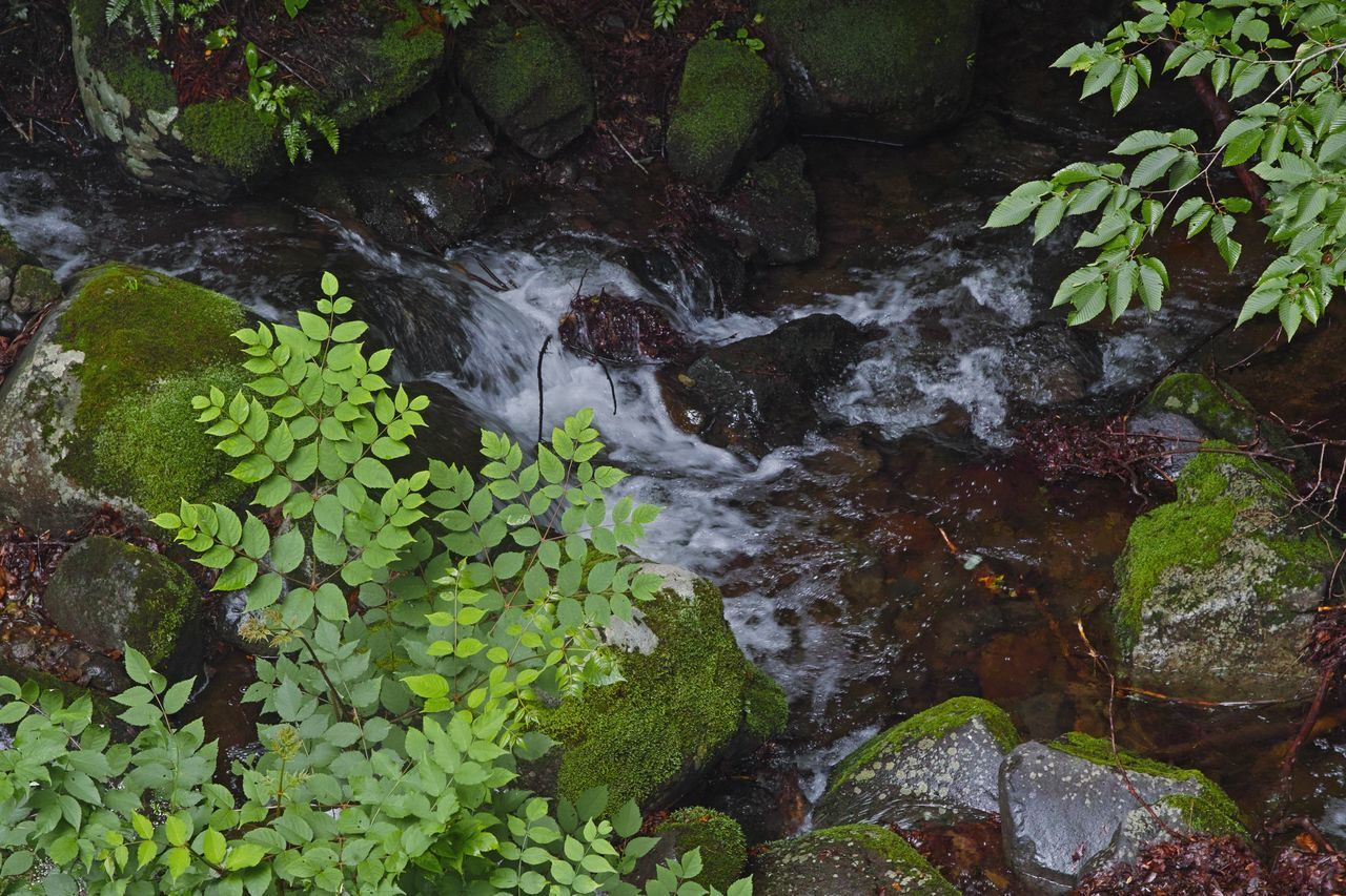 plant, growth, water, plant part, nature, green color, leaf, beauty in nature, no people, rock, solid, day, rock - object, flowing water, moss, land, high angle view, tranquility, forest, outdoors, flowing, stream - flowing water, leaves