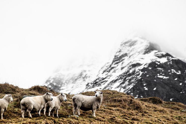 Mount Aspiring National Park - New Zealand Nikon Photography Landscapephotography Landscape New Zealand Winterday Mountain Sheep Livestock Animal Themes Animal Group Of Animals