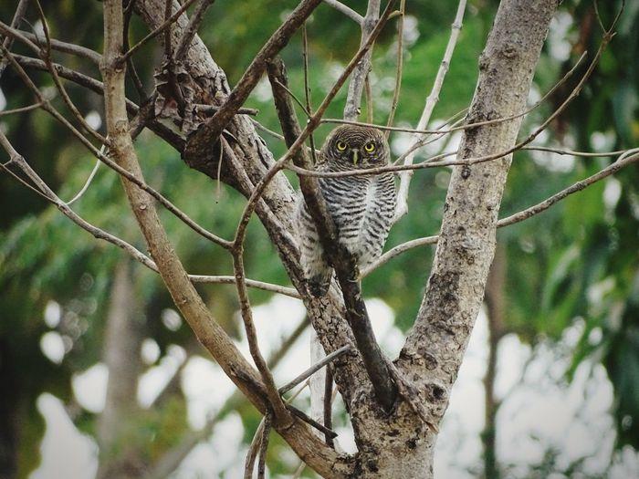 Owl Tree Branch Perching Close-up Animal Themes Yellow Eyes Bird Of Prey Bird Woods Pine Woodland Pine Tree