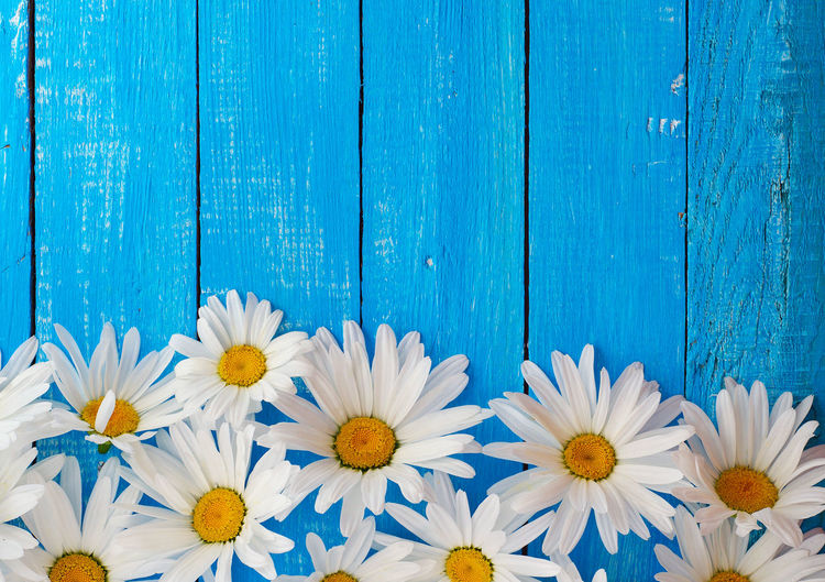 High Angle View Of White Daisies On Blue Wooden Pier