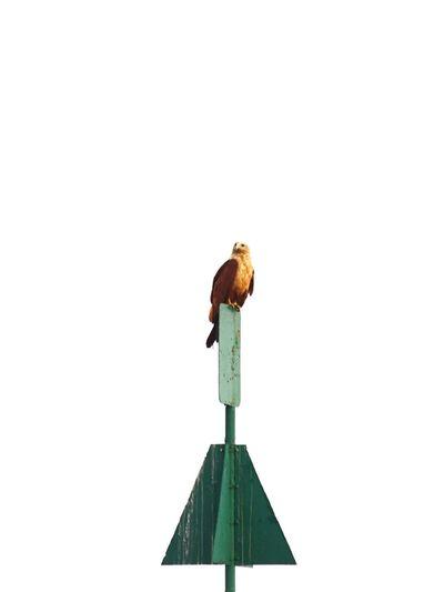 Brahmani Kite Bird Minimalism Cochin Harbor