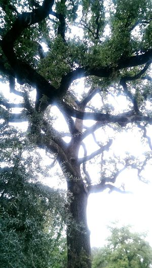 Tree_collection  Hugging A Tree Norcal Silhouette No Filter Ide Adobe State Park Oak Trees Historical Place Nature_collection Summertime