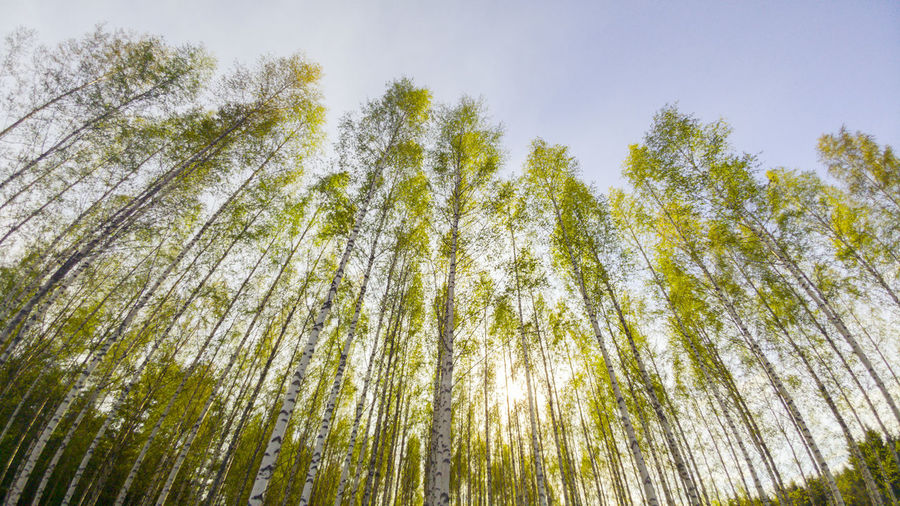 Birch Trees and
