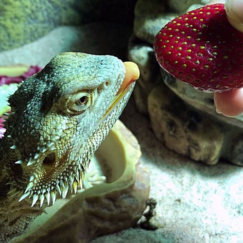 Eating Strawberry Beardeddragon Bearded Dragon Animal Animal Themes Indoors  One Animal Vertebrate Close-up Reptile