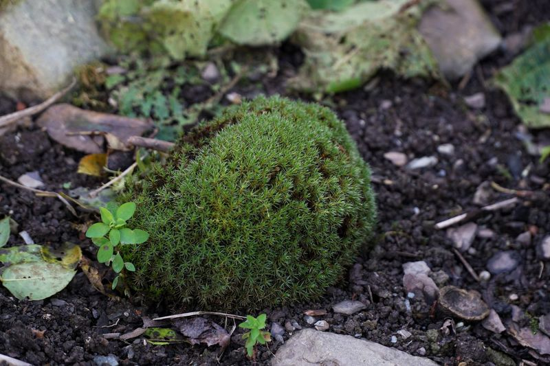 "This ball of moss grew on top of an old garage. My sister saw it from the house. It was dry and turned grey. She thought it might be a hedgehog carried away by a falcon, so we took it down. Now it has a place of honor in our garden and is refered to as ""the hedgehog"". ;-) just a little story Green Color Nature Growth Leaf Day No People Outdoors Close-up Moss Plant Garden Hedgehog The Hedghog ;-)"