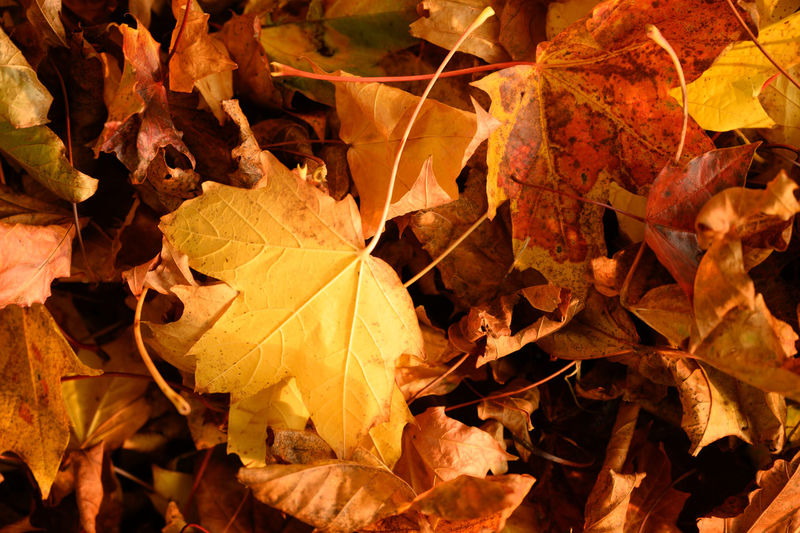 Close-up of yellow maple leaves on land