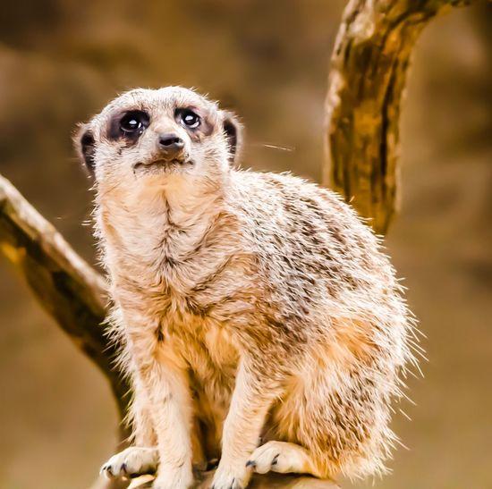 Zoo Animal Wildlife One Animal Animals In The Wild Focus On Foreground Vertebrate Day Meerkat Close-up