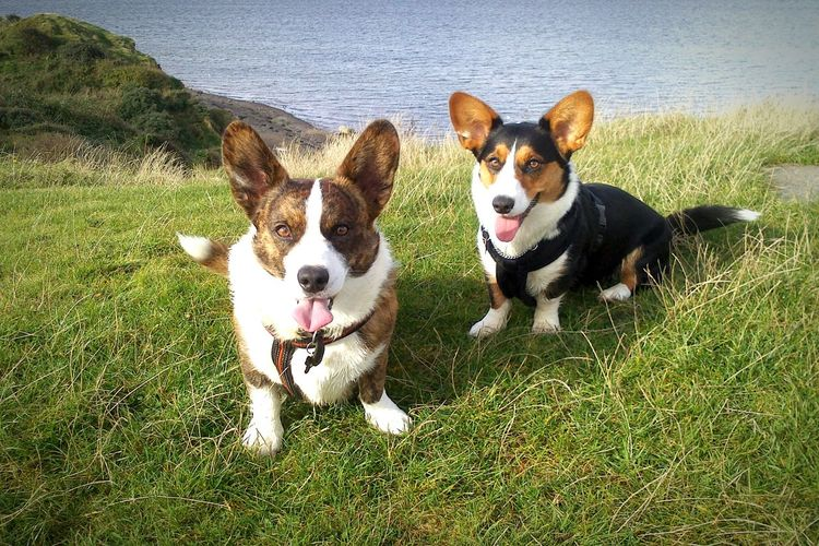 Corgi's by the ocean... Things I Like Dog Pet Pets Like Family Animal Animals K9 Canine Outdoors Denmark Danish Nature Corgi Ocean Grass Nature Mans Best Friend Summer Taking Photos Enjoying Life Walking The Dog Beach Welsh Corgi Cardigan EyeEm Best Shots Check This Out