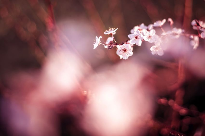 Almond Tree Be My Valentine Beauty In Nature Blossom Close-up Day Flower Flower Head Fragility Freshness Girly Growth Love Lover Nature No People Outdoors Pink Plant Plum Blossom Valentine Valentine's Day