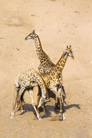 View of giraffe