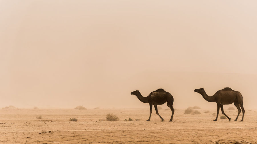 Animals In The Wild Camel Desert Group Of Animals Marroco Outdoors Sandstorm Travel Destinations