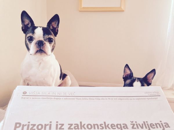 Boston Terrier EyeEm Pets Gremlins My Dogs Are Cooler Than Your Kids I Love My Dog