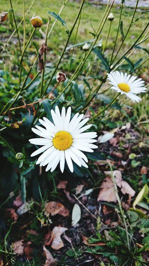 Old Photo Papatya ромашка Chamomile Taking Photos Check This Out Осень 🍁🍂 Autumn Hello World Naturel Beauty