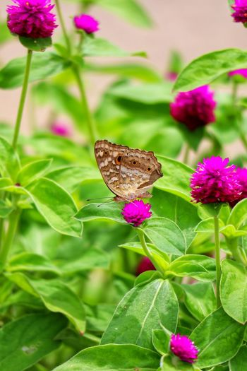 Flower Flower Head Leaf Butterfly - Insect Pink Color Perching Insect Close-up Animal Themes Plant