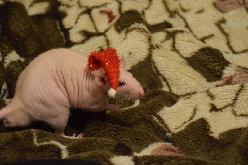новыйгод атмосфера милота зверушки домашние животные сфинкс Крысак лысыйжирок Domestic Animals One Animal Red Pets Indoors  Christmas Animal Themes