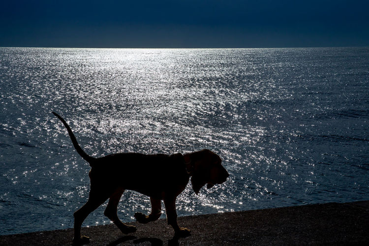 Silhouette of a lovely bloodhound puppy at 5 months old walking along the promenade against the sea. Puppy Dog Pet Animal Bloodhound Portrait Canine Domestic Mammal Cute Beautiful Hound Purebred Happy Adorable Friend Background Breed Young Friendly Companion Furry Lovely Attentive Ears Blood Scent Carnivore Vigilant Whelp Sea Outside Silhouette Walking Promenade Coast Seashore Seacoast Backlight One Animal Domestic Animals Pets Animal Themes Water Vertebrate Horizon Horizon Over Water No People Nature Scenics - Nature