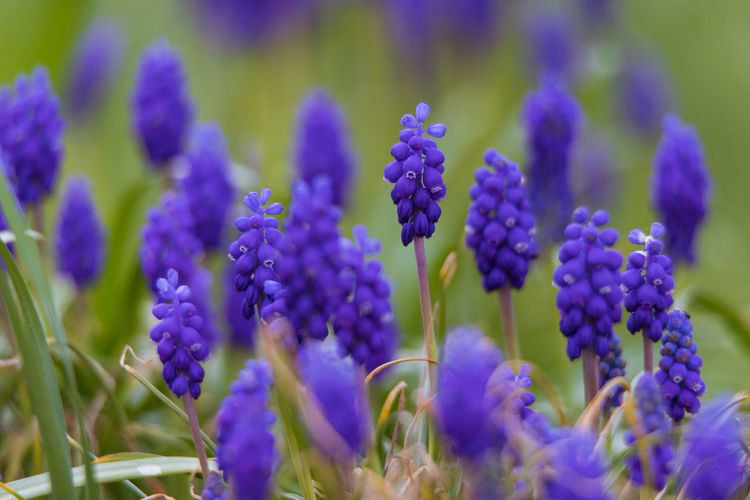 grape hyacinth Flowering Plant Flower Plant Vulnerability  Growth Fragility Beauty In Nature Freshness Close-up Purple No People Nature Petal Selective Focus Day Flower Head Grape Hyacinth Inflorescence Hyacinth Lavender Blue Softness