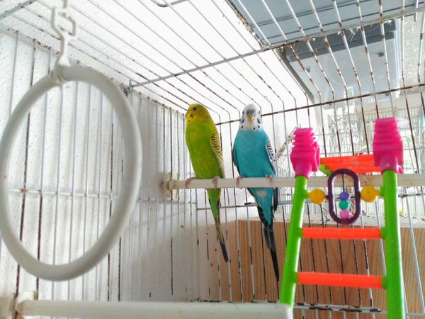 Animal Animal Themes Animals Animals In Captivity Bird Photography Birdcage Birds Birds_collection Birds🐦⛅ Budgerigar Cage Caged Full Length Multi Colored Occupation Perching