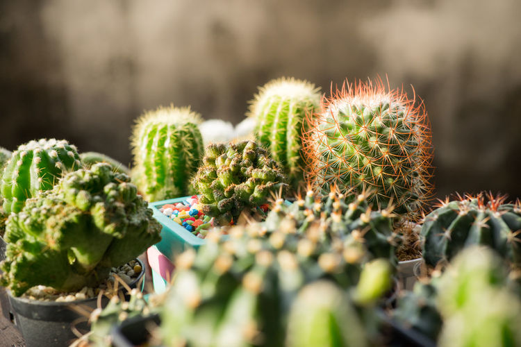Many cactus pots are set on wooden boards. Cactus Succulent Plant Green Color Growth Plant Thorn Spiked Focus On Foreground Freshness Barrel Cactus Sharp Close-up Day Selective Focus Nature No People Potted Plant Outdoors Beauty In Nature Communication