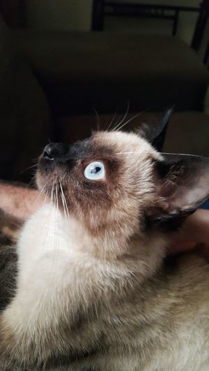 Siamese Cat One