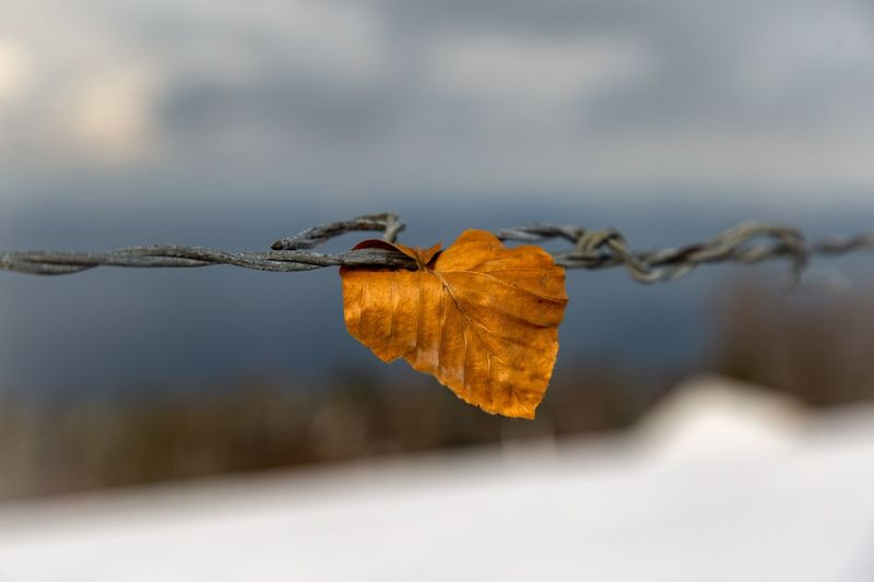 Close-up of dry leaf on barbed wire during autumn