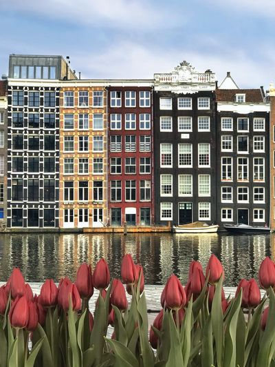 Springtime in Amsterdam and the tulips are blooming. Springtime Europe Canal Houses Netherlands Dutch House Holland Europe Trip Amsterdam Damrak Tulips Building Exterior Built Structure Architecture Sky Day Building Nature Red No People Window Flower Residential District Flowering Plant City Plant Cloud - Sky City Life Growth