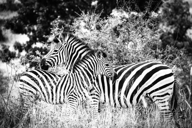 Kruger Park Animal Markings Animal Themes Animal Wildlife Animals In The Wild Close-up Day Field Grass Mammal Nature No People Outdoors Safari Safari Animals Striped Zebra