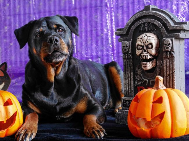 Pumpkin Dogs Of EyeEm One Animal Black And Tan EyeEm Selects Halloween Frightnight 31stOCT Tombstone Halloween Pumpkin Celebration Close-up Jack O' Lantern Rottweiler Pets Dog Trick Or Treat Canine