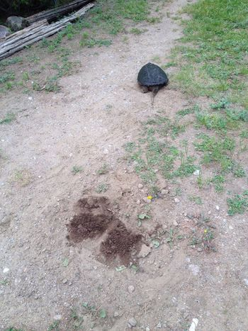 Turtles pick the darndest places to lay eggs ... right in the driveway at the cottage