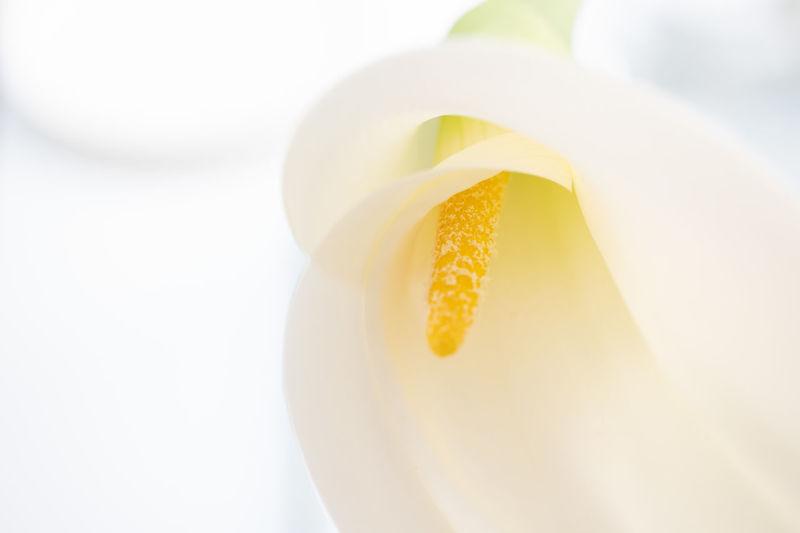White lily macro close up soft