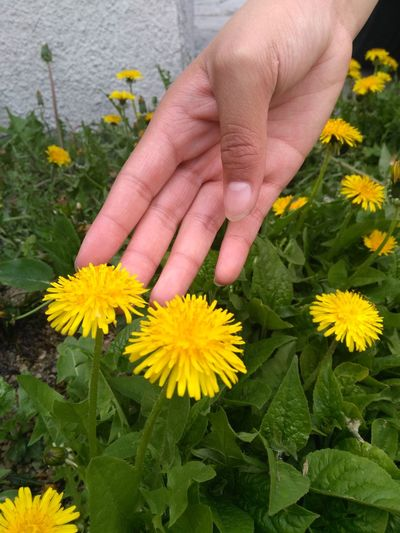 Flower Human Body Part Human Hand Outdoors Leaf Plant Yellow Nature People Summer One Person Beauty In Nature Growth Close-up Fragility Freshness Flower Head Dandelion Wildflower Freshness Flower Head Green Leaves Beauty EyeEm Selects EyeEmNewHere