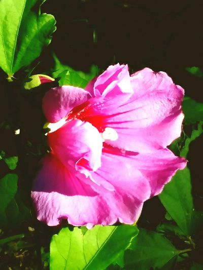Flower Head Flower Pink Color Hibiscus Petal Peony  Close-up Plant Wild Rose In Bloom Pale Pink Plant Life Rose - Flower Pollen Single Flower Stamen Blossom Blooming