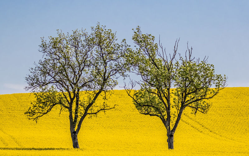 Trees in rapseed EyeEmNewHere Clear Sky Day Landscape Nature No People Oilseed Rape Rapseed Sky Tree Yellow
